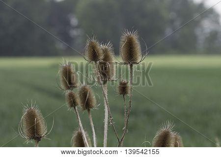 Teasel Seedheads . Germany , Northeim .