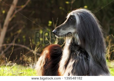 Beautiful dog breed Afghan lies in the summer on the nature turning sideways in profile and quietly watching.