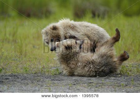 Brown Bear Cubs Playing