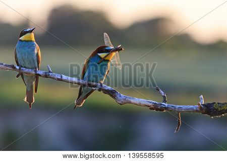 Couple dines colored birds at sunset, Silhouette couple of birds at sunset, bee eaters, european bee eaters, bird on branch,