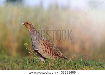gray partridge tread carefully on the road, hunting bird, caution, stealth, accuracywith sunny hotspot