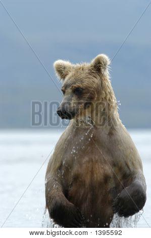 Brown Bear Rising Out Of Naknek Lake Alaska poster