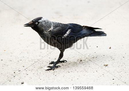 Jackdaw (Corvus monedula) standing on the pavement in town. Shallow depth of field