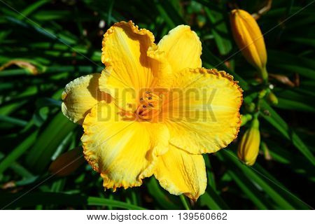 The blossom of a yellow Hemerocallis. Taken from up close, showing great detail.