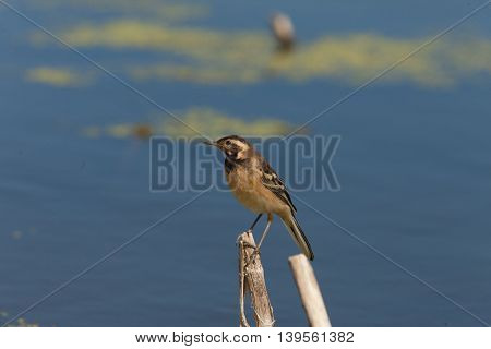 beautiful little bird sitting on a branch against the blue lake