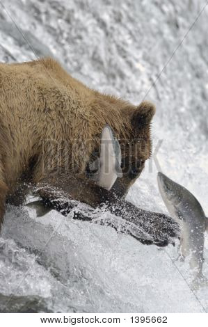 Brown Bear Trying To Catch Salmon with his paws poster