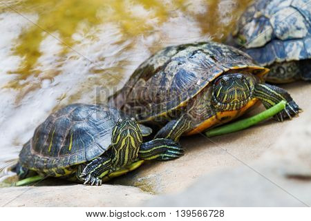 The pond slider (Trachemys scripta) common medium-sized semi-aquatic turtle. Red-eared turtles. Thailand.