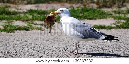 A seagull carrying a Flounder getting ready for lunch