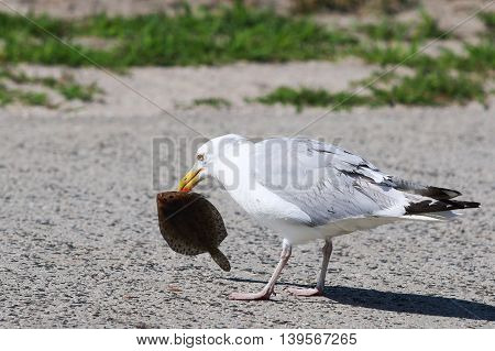 A seagull eating a Flounder on the side of the road