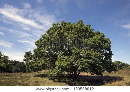 Solitary Oak tree in a Danish landscape called Russia in Dronningmoelle.
