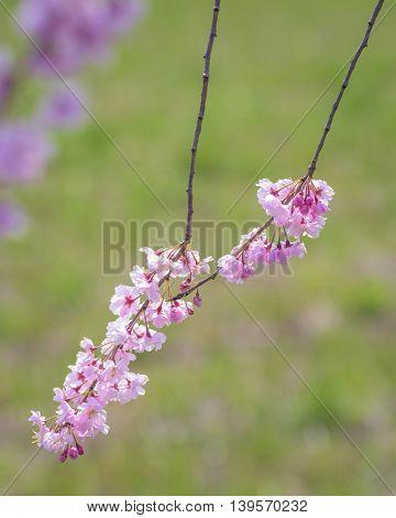 Weeping Pink Cherry blossoms with nature blackground at Kitakata Fukushima