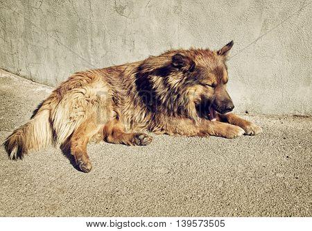 Sleepy homeless dog with sad eyes is laying outdoors