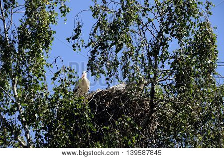 Storks In Their Nest