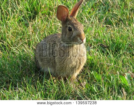 Eastern cottontail rabbit or known as sylvilagus floridanus