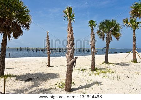 A Single New Palm Tree planted on a Sandy Beach