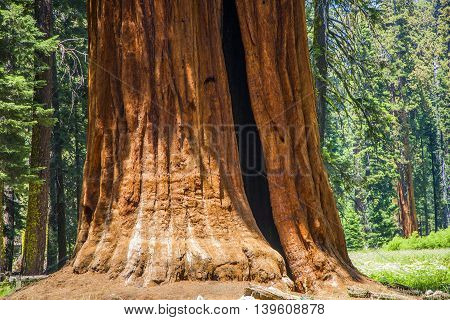 Detail Of Old Sequoia Trees