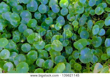 centella asiatica Asiatic Pennywort(Centella asiatica (Linn.) Urban.)