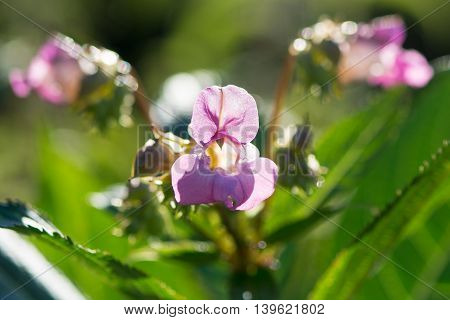 Indian balsam (Impatiens glandulifera) in sunshine. Striking pink flower on plant in family Balsaminaceae backlit by sunshine