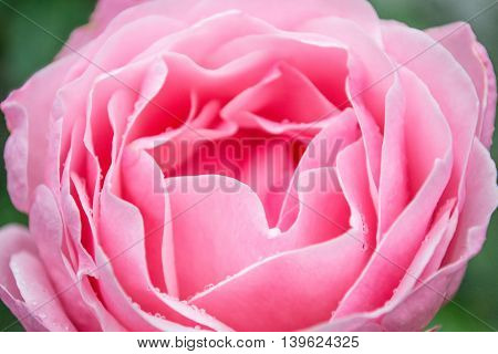 Pink rose flower. Delicate focus, blurry stylized.