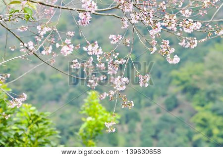 Wild Himalayan Cherry Prunus cerasoidesSour cherry Cerasus cerasoidesSakura Cherry Blossom or Wild Himalayan tree in the garden