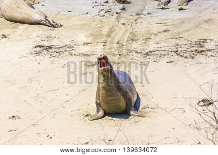 Shouting Male Sea Lion At The Sandy Beach