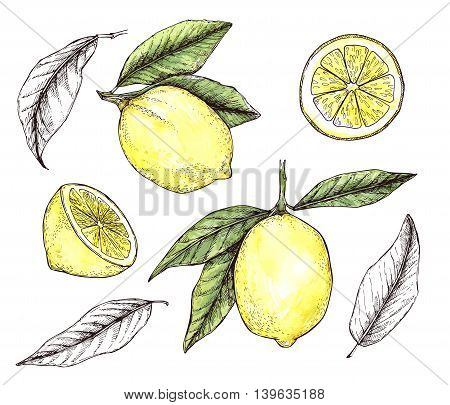 Hand Drawn Vector Illustration - Collections Of Colorful Lemons. Blossom Plant With Leaves. Watercol