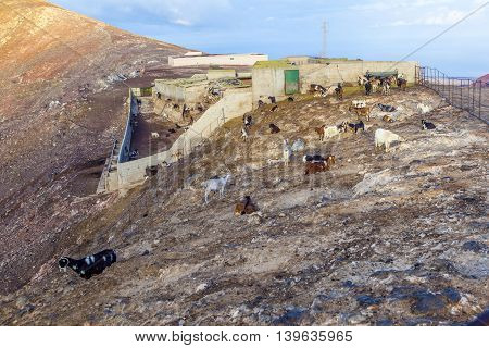 flock of goats in the mountains of a cheese dairy