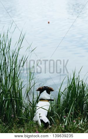 Small dog breed the Jack Russell Terrier sits on the banks of the river and looks into the distance on a summer day