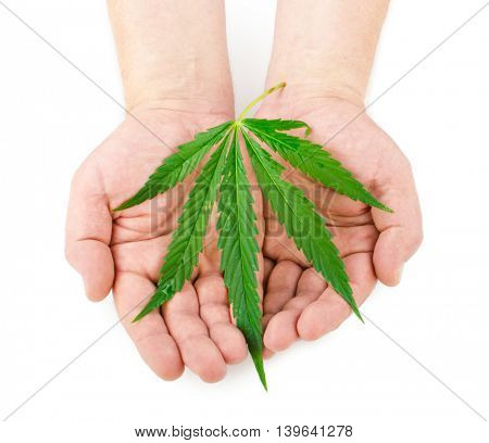Marijuana leaves in hands