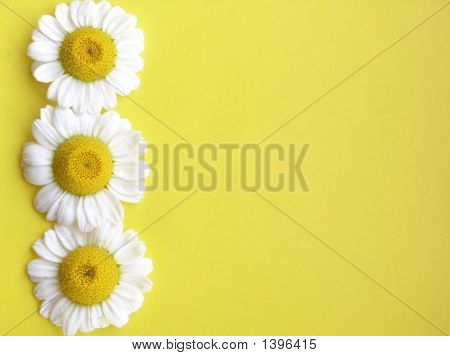 Three White Flowers On Yellow.