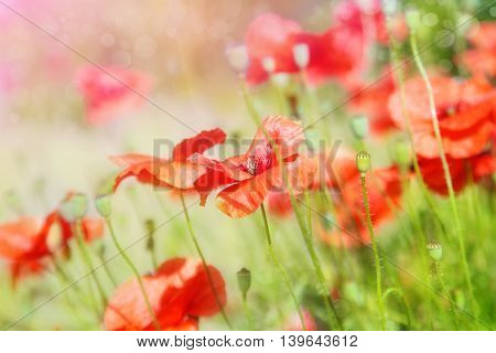 Buds of red poppies on a green field