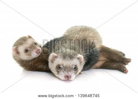 brown ferrets in front of white background