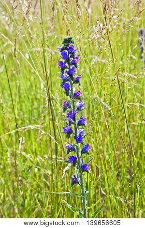 beautiful wild sage flower in green meadow