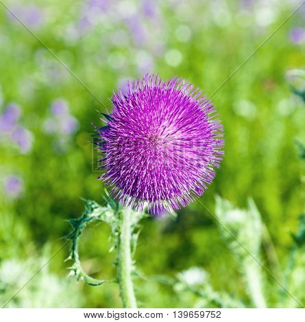 thistle in the green meadow in morning light