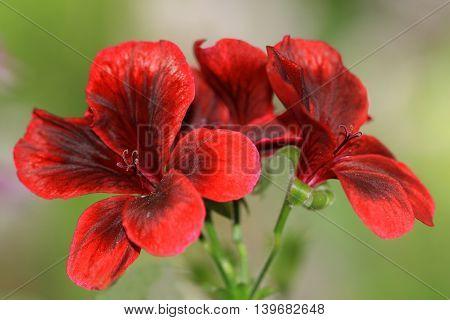 Dark red French Geranium. French geraniums are very rich flowering pelargonium varieties