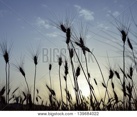 Wheat field backlit at sunrise in early summer