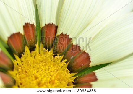 Beautiful Yellow White Gazania Flowers