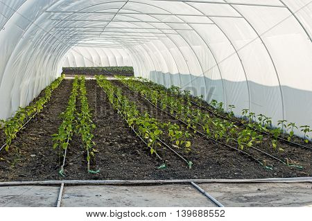 Drip Irrigation of Pepper Seedlings in the Greenhouse. Several rows of pepper seedings from which the water-hose for drip irrigation