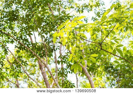 Background Green Leaf Of Rubber Tree