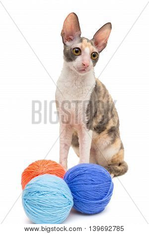 Cat breed Cornish Rex and the balls of wool isolated on white
