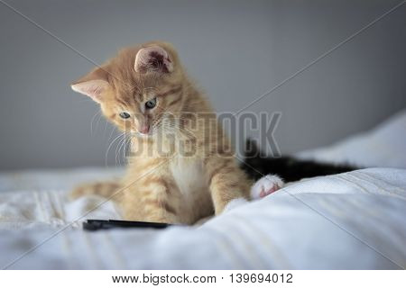 Cute orange kitten with large paws playing with a toy