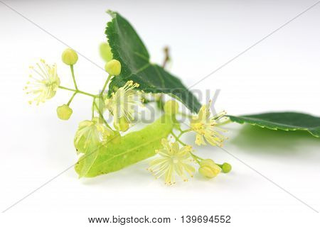 Tilia cordata (linden buds flower leaves) on white background with shadow.