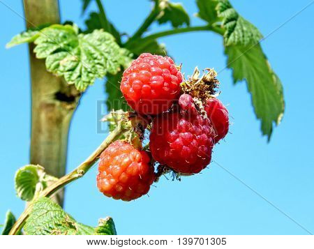 Raspberry bush on field of the Whittamore's Farm in Markham Ontario 23 July 2016 Canada