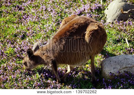 A western grey kangaroo (Macropus fuliginosus) grazes on flowers and plants near the ground.