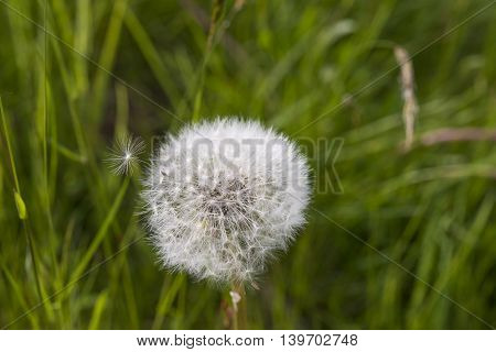 Dandelion on green meadow with a caryopsis is blown away by the wind