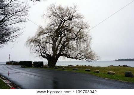 A weeping willow tree (Salix babylonica) stands along the lakefront in Wequetonsing, Michigan.