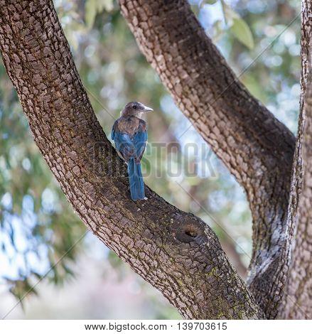Western Scrub-Jay (Aphelocoma californica) perched on tree