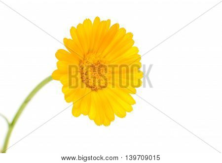 flowers yellow marigold isolated on white background