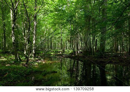 Dark shady deciduous stand in summer noon with standing water, Bialowieza Forest, Poland, Europe