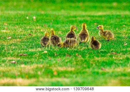A family of goslings communicating and eating grass.